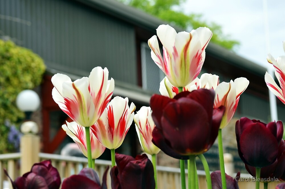 Urban Tulips by Carol Bleasdale