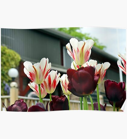 Urban Tulips Poster