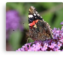Red Admiral butterfly at rest Canvas Print