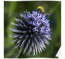 Globe Thistle and the Bee Poster