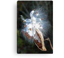 Milkweed seeds Canvas Print