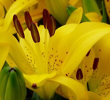 Yellow Asiatic Lily by WildestArt