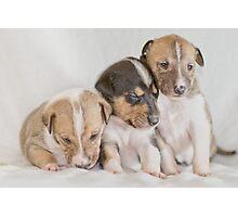 Three Collie Puppies Photographic Print