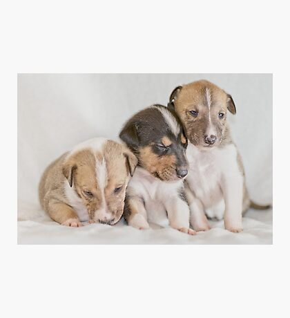 Three Collie Puppies Photographic Print