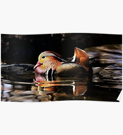 Male Mandarin Duck Poster
