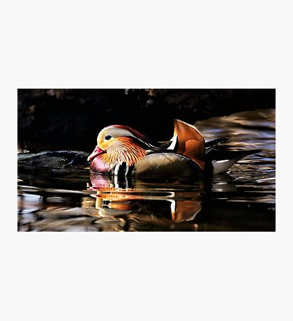Male Mandarin Duck Photographic Print
