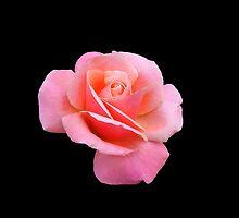Tender Pink Rose on Black Background by kathrynsgallery
