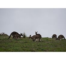 Kangaroos above Hurstbridge road Victoria Australia 20160618 7155 Photographic Print