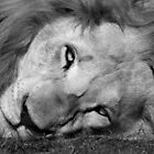 White lion in black and white by Anna Phillips