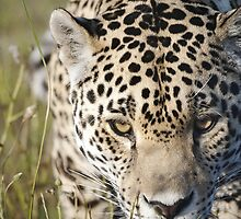 Prowling leopard by Anna Phillips
