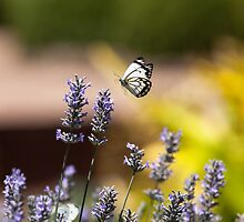 Butterfly by sedge808