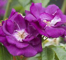 roses in the garden by spetenfia