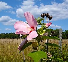 Common Marshmallow Wildflower - Althaea officinalis by MotherNature