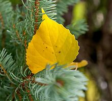 Autumn Poplar Leaf Perspective #2 by mspixvancouver