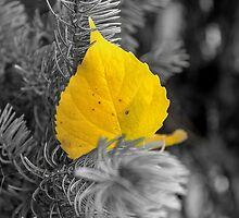 Autumn Poplar Leaf In Black and White Perspective #2 by mspixvancouver
