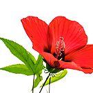 Hibiscus by Svetlana Sewell