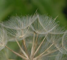 Dandelion seed head by Heather Thorsen