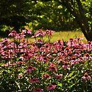 Coneflower garden... by Poete100
