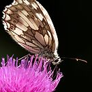 Marbled White Butterfly by Neil Bygrave (NATURELENS)