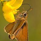 Small Skipper - Butterfly by Neil Bygrave (NATURELENS)
