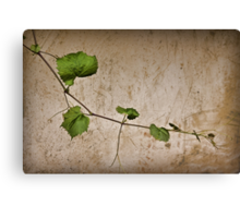 a day among the vines Canvas Print