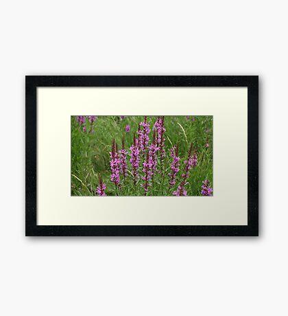 flower purple crybaby grass Framed Print