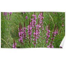 flower purple crybaby grass Poster