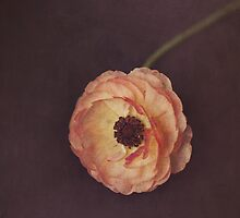 Winter Ranunculus  by Nicola  Pearson
