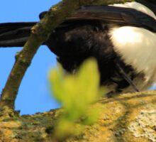 magpie sitting in a tree Sticker