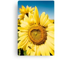 Bumble Bee & Sunflower Canvas Print