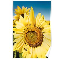 Bumble Bee & Sunflower Poster