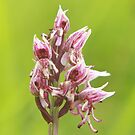 The monkey orchid by miradorpictures