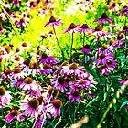 Coneflowers on the Highline by Heidelberger Photography
