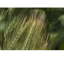 ear in the meadow Photographic Print