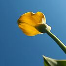 Yellow calla lily greets blue sky by steppeland