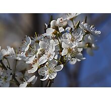 trees with white flowers in spring Photographic Print