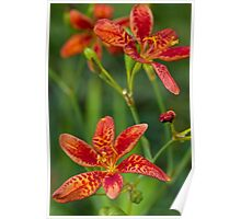 Blackberry Lily Poster