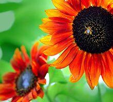 sun flowers  by mark ashkenazi