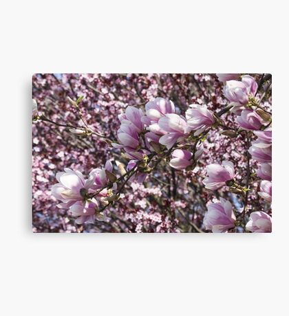 blooming magnolia flowers in spring Canvas Print