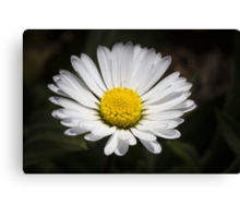 daisy in spring Canvas Print