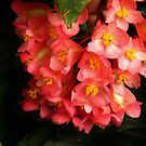 Keith's Begonia  by lorilee