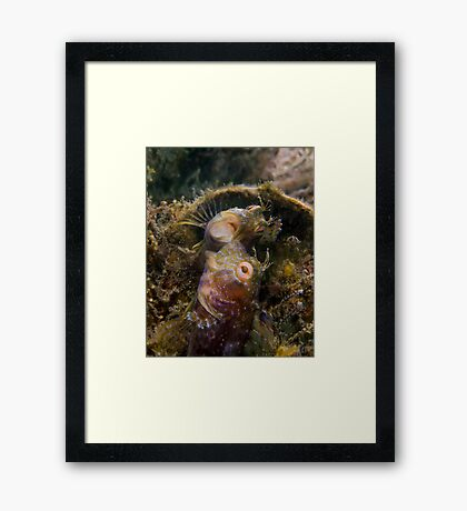A Seaweed Blenny Fight Framed Print