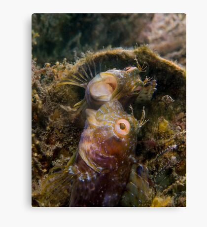 A Seaweed Blenny Fight Canvas Print