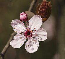 peach blossom in spring by spetenfia