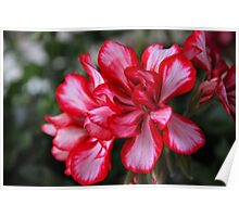 Red and White Flower Poster