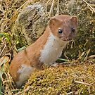 Weasel (Mustela nivalis) by MikeSquires