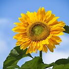 Sunflower by M.S. Photography/Art