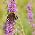 Red Admiral Butterfly by M.S. Photography & Art