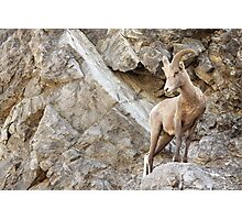 Juvenile Bighorn Sheep Photographic Print