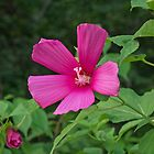 Wild Rose Mallow II by Lynn Gedeon